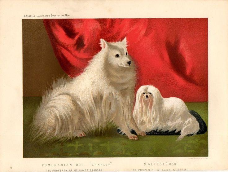 Stampa antica cani POMERANIA Pomeranian MALTESE 1879 Old print dogs http://www.ebay.es/itm/Stampa-antica-cani-POMERANIA-Pomeranian-MALTESE-1879-Old-print-dogs-/231118344781?hash=item35cfba124d:g:uNsAAOxyAc1SOs1G