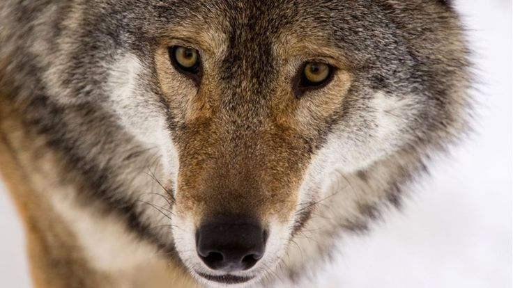The last wolf in the UK was shot centuries ago. But now a campaign to bring them back is building.