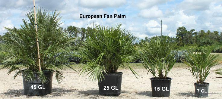 European Fan Palm Volusia Palms