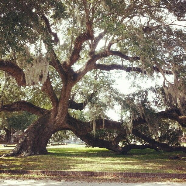 The 800 year old oak tree in Magnolia Cemetery, Charleston, SC