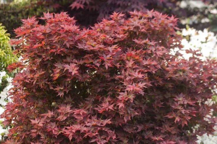 1000 images about japanese maples on pinterest gardens. Black Bedroom Furniture Sets. Home Design Ideas