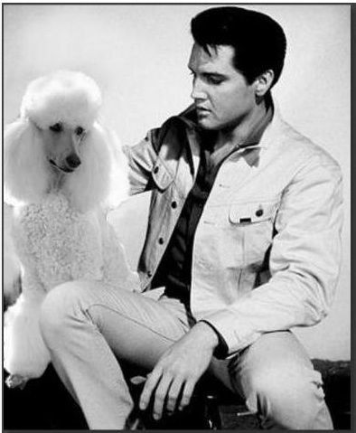 """This is definitely not a """"hound dog""""! Elvis loved his poodle and even had poodle wallpaper which is pinned here someplace."""