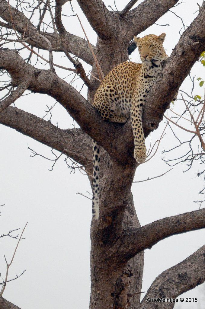 https://flic.kr/p/vEF4Ss | DSC_3293 | Leopard in tree