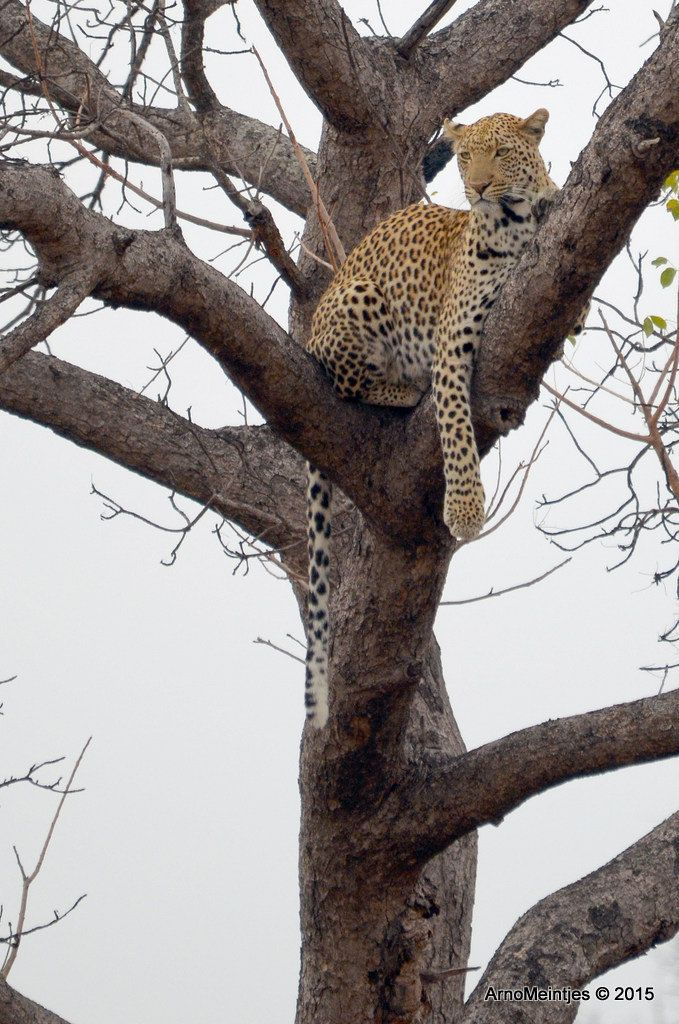 https://flic.kr/p/vEF4Ss | DSC_3293 | Leopard in tree