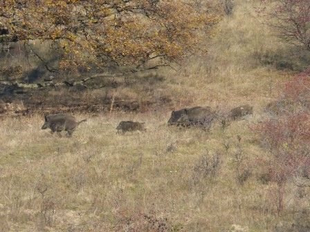 Wild boars - from the filming of Wild Boar Fever 5