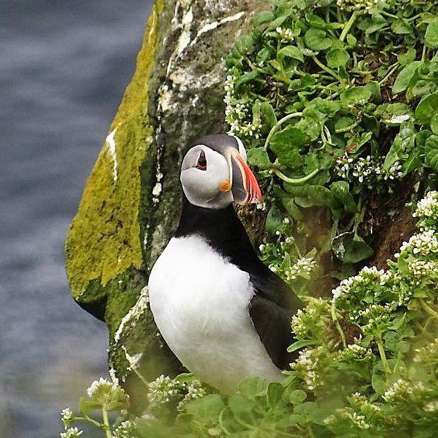 Beautiful Puffin on Grimsey Iceland  Neuer Blogpost zu Grimsey auf travelinspired.de!  #island #grimsey #iceland #puffin #papageientaucher #traveliceland #msfram #birds #birdsofinstagram #hurtigruten #vögel #seevögel #arctic #arktis #reisebericht #atlanticpuffin