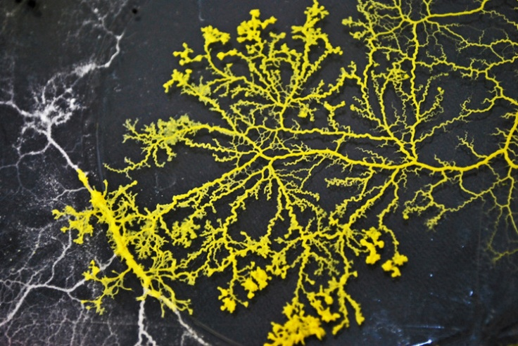 Slime mould. | image_for_new_book3 | Pinterest | Slime ...