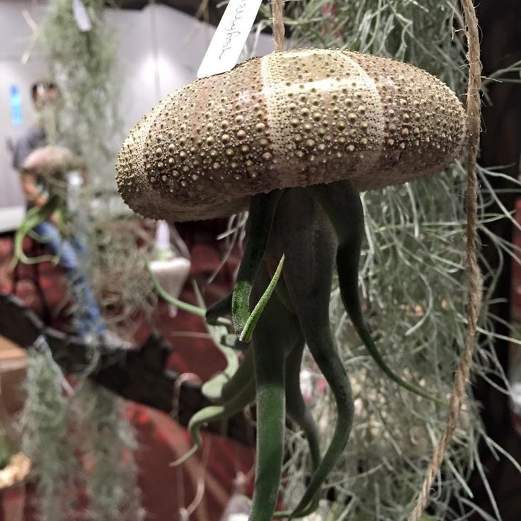 #airplants #tillandsia #airplantdesigns #shells #urchins #jellyfish #ethicallysourced #hanginggarden