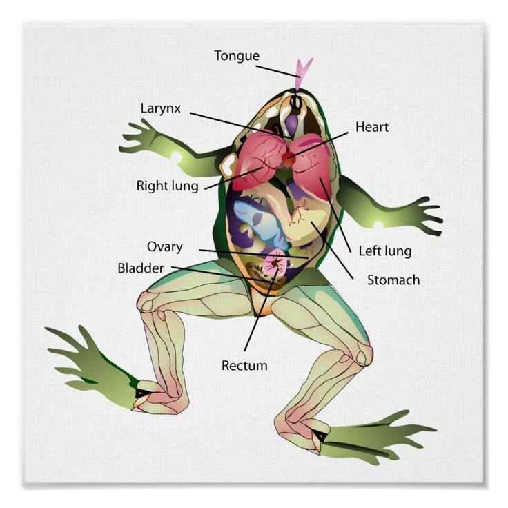 The Frog S Anatomy Illustration Poster Zazzle Com Graphic Poster Anatomy Illustrations Posters