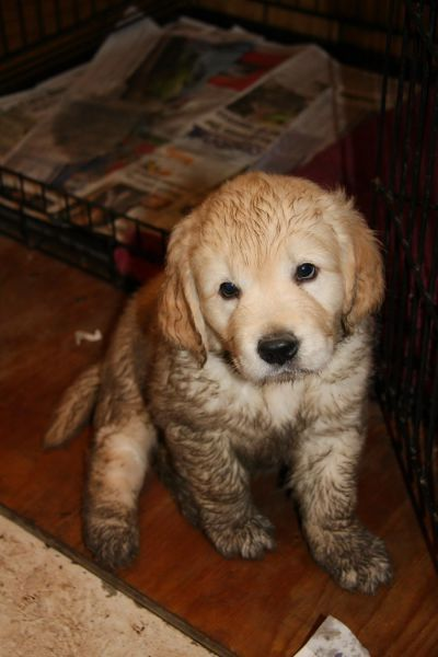91 Best Golden Mud Images On Pinterest Golden Retrievers