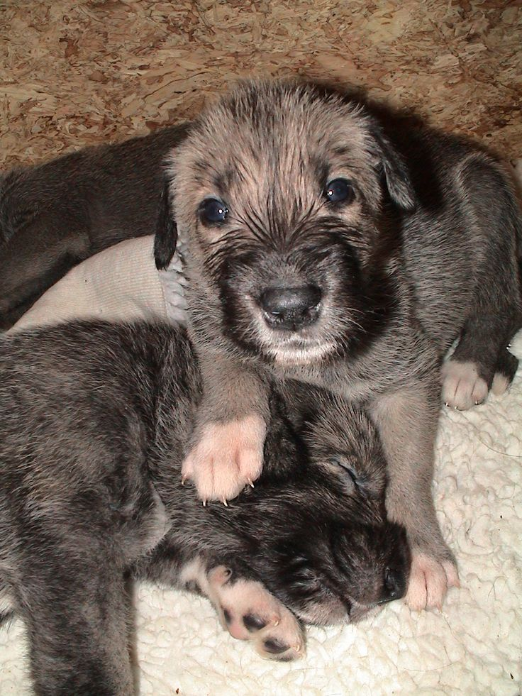 Irish Wolfhound pups..BC THESE DOGS GROW TO be so big they're life span is very short.makes me sad bc LOOK AT THAT FACE!