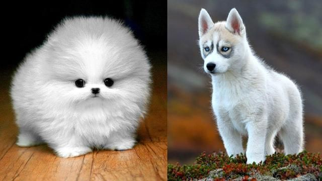 Top 10 Cutest Dog Breeds In The World 10cutestdogs