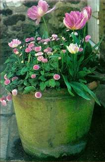 Do It 101.com Container Gardening Tips and Hints. Pink English Daisies and pink tulips