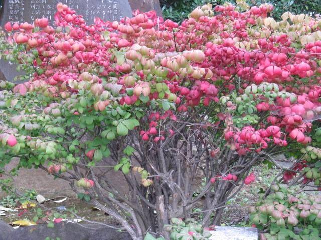 10月22日の誕生日の木は紅葉が印象的な「ニシキギ(錦木)」です。 ニシキギ科ニシキギ属の落葉低木。原産地は、日本、朝鮮半島、中国。低い山や人家に近い山林など広く分布しています。 名前の由来は、秋の美しい紅葉の様を「錦」に見立て「錦木」としたことから。ニシキギの紅葉の鮮やかさは有名で「世界三大紅葉樹」のひとつとされています。世界三大広葉樹は2説あり、「ニシキギ、ニッサ(ヌマミズキ科の落葉高木北アメリカ・中国・インドに分布)、スズランノキ(ツツジ科の落葉高木北アメリカに分布)」とする説と、 「ニシキギ、モミジ、スズランノキ」とする説があります。