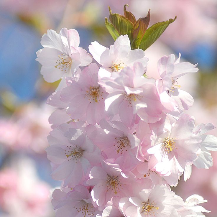 Lovely cherry blossoms captured in Kungsbacka, Sweden today.