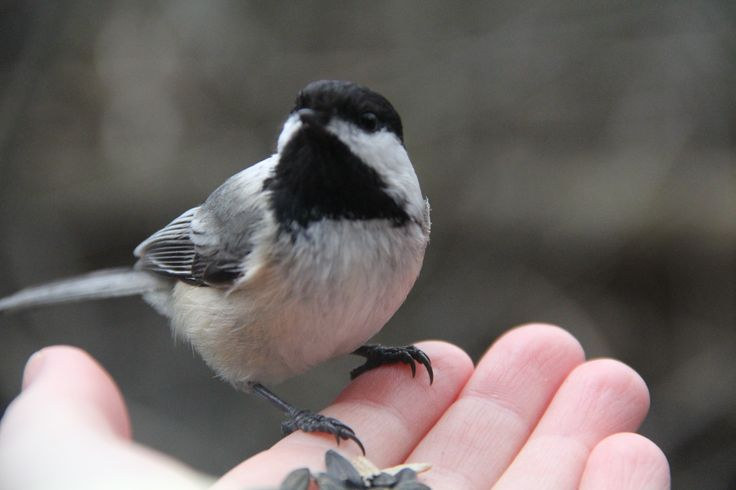 Chickadee - many of them were brave enough to take their time picking out seeds before taking off.
