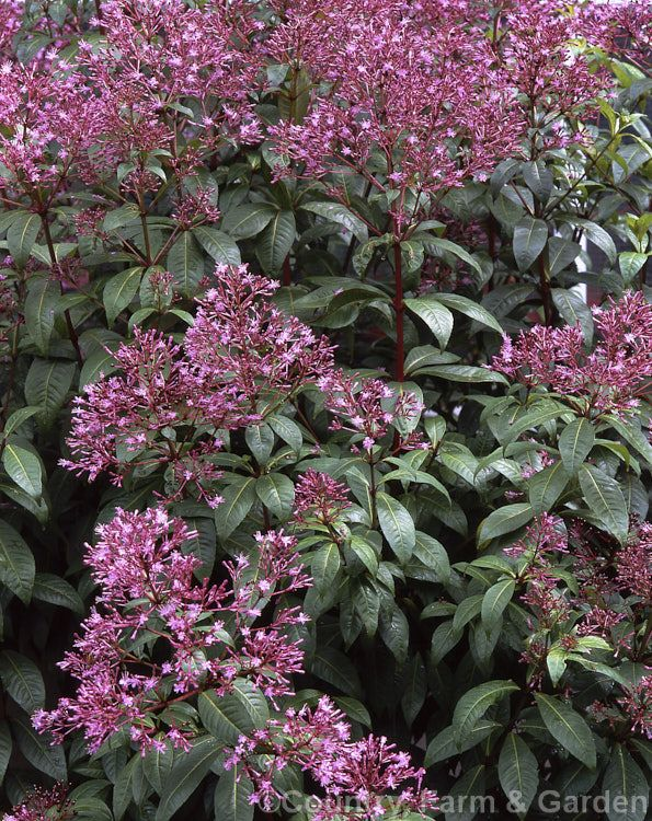 Fuchsia paniculata, a 3-8m shrub or small tree found from Mexico to Panama. The very distinctive and 'un-fuchsia-like' flowers sprays are followed by purplish-blue berries.
