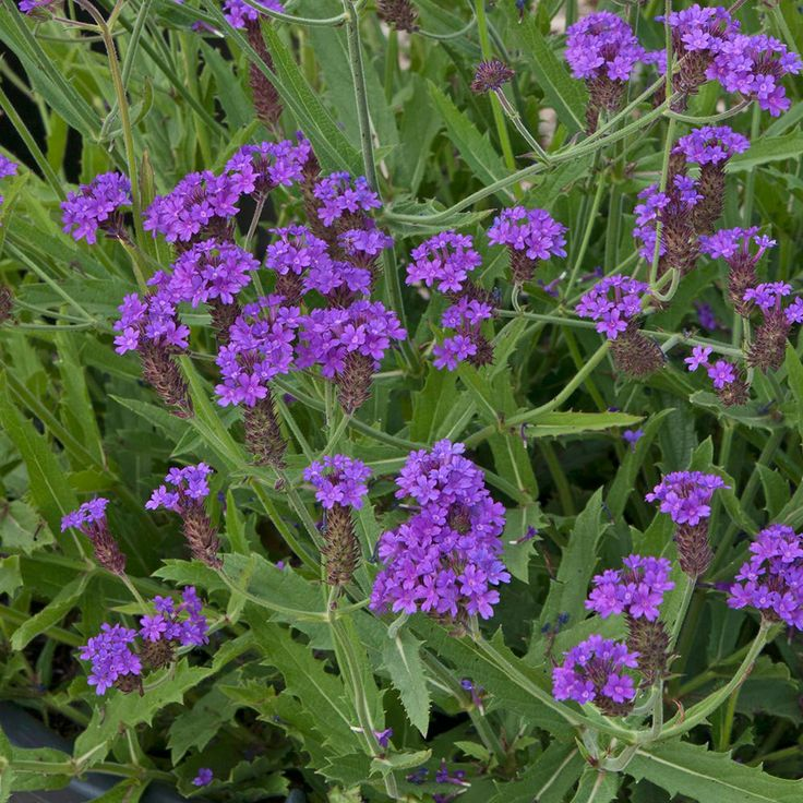 """Verbena 'Santos' - A compact and well branched variety of this well known hardy perennial plant. The naturally spreading habit of Verbena 'Santos' makes it ideal as a groundcover plant or also for using in a container where it can spill over the edges. Masses of lilac-purple flowers will cover the plant during the summer and into early autumn, making this small variety well worth adding to any collection. Height: 20cm (8""""). Spread: 45cm (18"""")."""