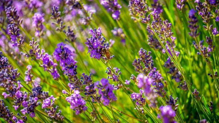 Garden Bush: Best 25+ Growing Lavender Ideas On Pinterest
