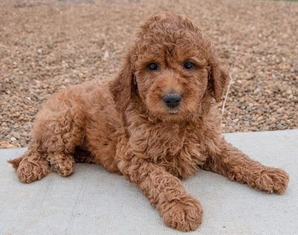 Petland Overland Park Has Goldendoodle 2nd Gen Puppies For Sale Check Out All Our Available Puppies Goldendoodle2ndgen Puppy Friends Cute Animals Puppies