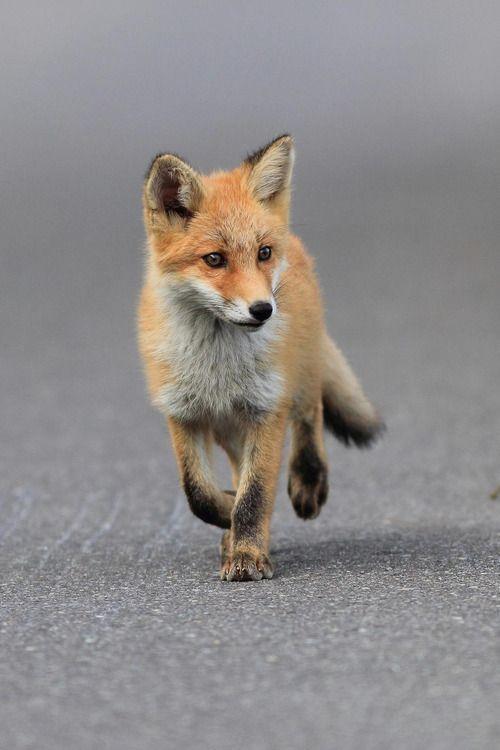 Red Fox / Masa Nakamura / Photographie / Renard / Animaux / Sensible / Cute / Douceur Plus