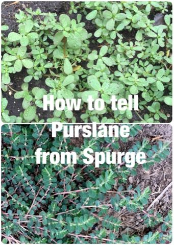 Foraged Foodie: How to find, identify and eat wild purslane. Plus how to avoid poisonous look-a-like: spurge. #foraging #purslane #wildfood