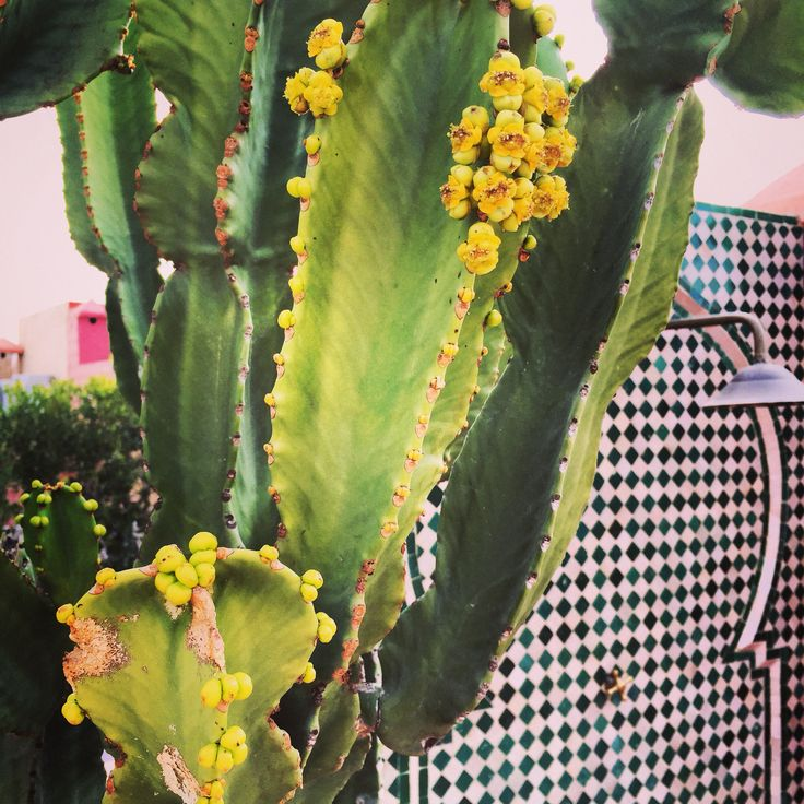 Cactus candelabro en la terraza