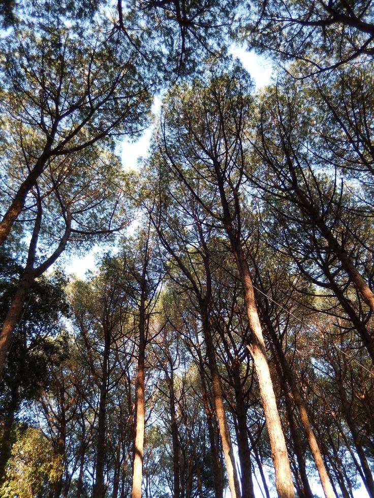 Passeggiando nella pineta di Fiaiano col naso all'insù...   #ischiatrekking #ischia