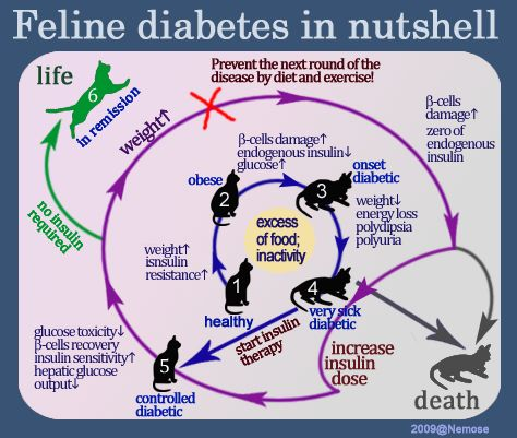 Cats can get diabetes, too! Here's a simple infographic to demonstrate the process and progression of feline diabetes.