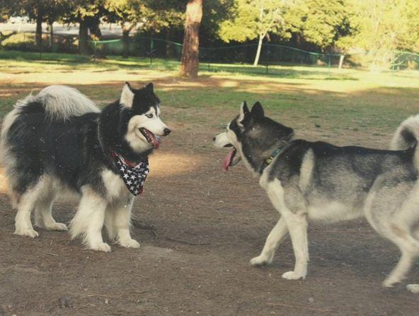 Husky face off at at El Dorado Dog Park - Long Beach, CA - Angus Off Leash #dogs #puppies #cutedogs #dogparks #longbeach #california #angusoffleash