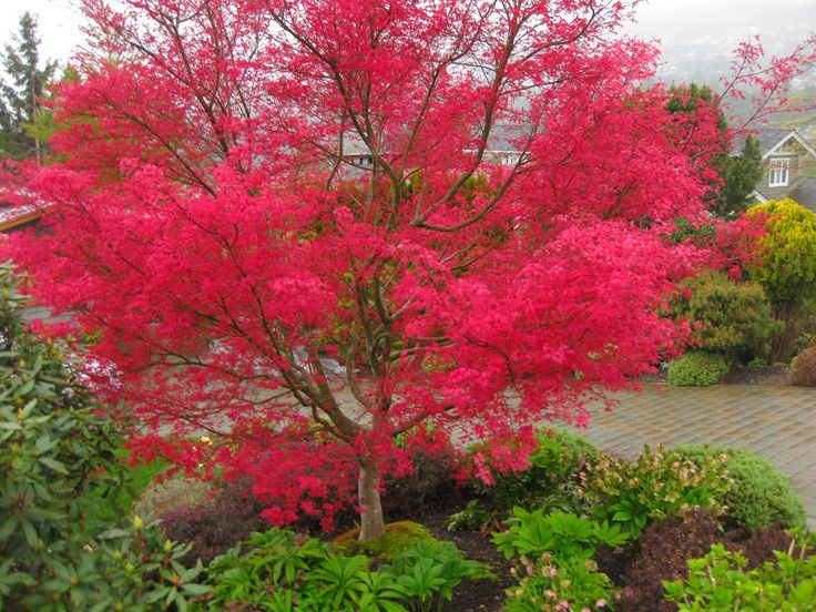 Japanese Maple Varieties | The Bicycle-Gardening Chronicles...