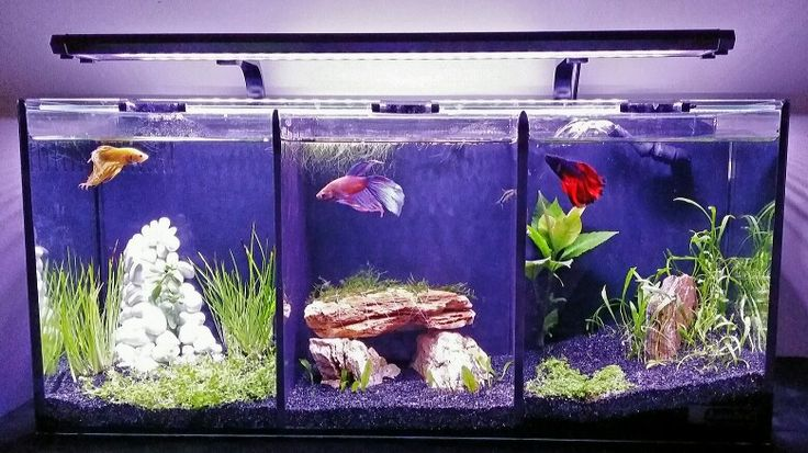 Betta Trio Tank Fighting Fish In 3 Worlds 9 Different