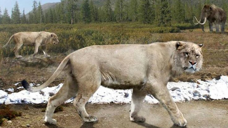 The American lion was 30% heavier then modern day lions and the largest feline species ever to have lived. Their population plummeted about 12,000 years ago during what is known as the Quaternary extinction.