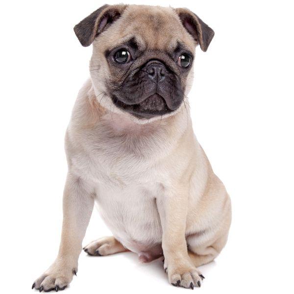 razas de perros perezosas