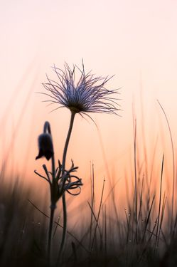 Pasque Flower in cool morning