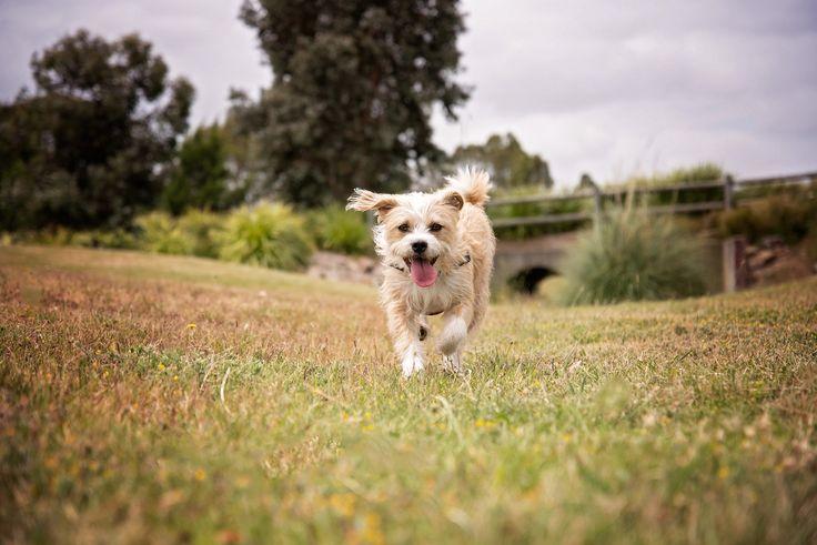 Terrier Mix - Melbourne Pet Photographer - Yarra Valley