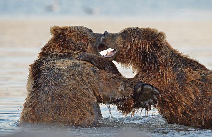Битва титанов. Камчатка Бурые медведи Автор: Александр Малецкий