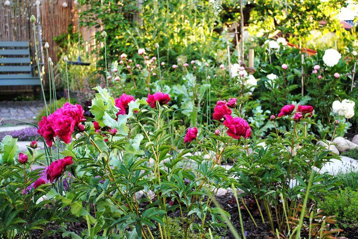 Pionerna som flyttades förra hösten ser inte ut att ha farit illa av det. Blommar ändå!