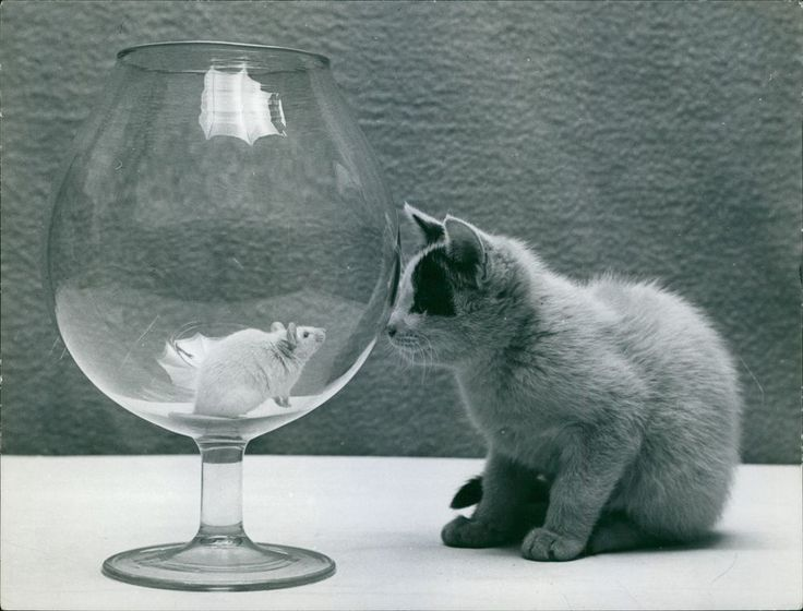 Vintage photo of Mouse in goblet, cat looking at it. -