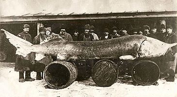 Beluga Sturgeon - weight 2698 lb 7 oz - length 276 inches. Caught in the Volga Delta, 1922, before over-fishing..