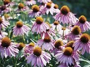 """Echinacea (Purple Coneflower)  is a true American native & 1 of the hardiest perennials. can tolerate almost any kind of soil, but thrives in soil amended w/ compost & phosphate in spring. can be started easily from seed when soil is at least  70 degrees. In Zones 6-10 seeds can be started in August - end of October. In Zones 1-5, need to be started in August. Sprinkle on soil which has been turned & raked. Cover w/ .5"""" of soil & moisten. will germinate in less than 2 weeks. Thin to 18""""."""