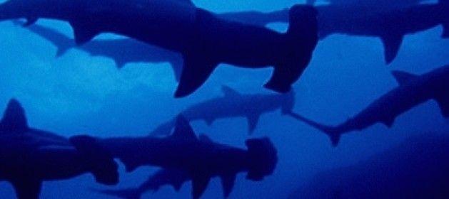 La migración de tiburones que se produce en esta época del año en la costa sudeste de Estados Unidos ha provocado la alarma en las playas de Miami Bea... ¡Ojo al parche!