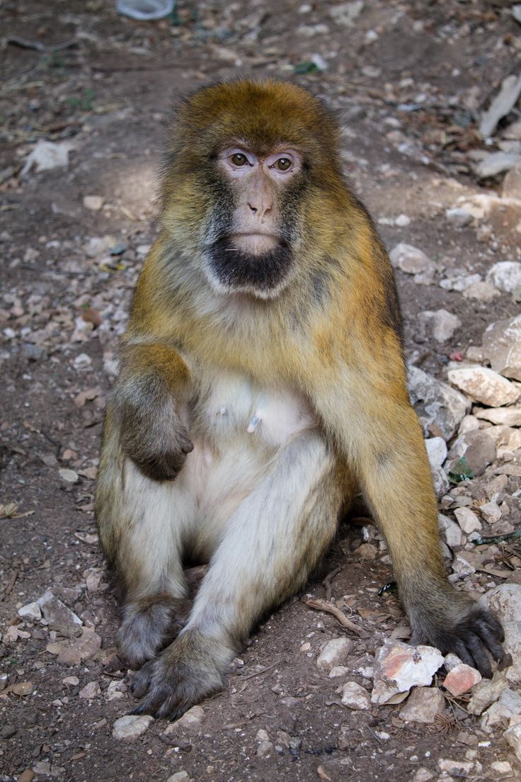 "Scimmia ""bertuccia berbera"""