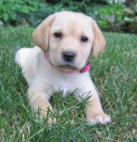 Golden Lab. Oh, they have such a beautiful personality in their face!