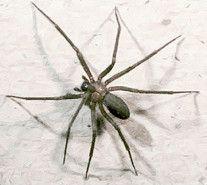 Une petite araignée affole le Languedoc