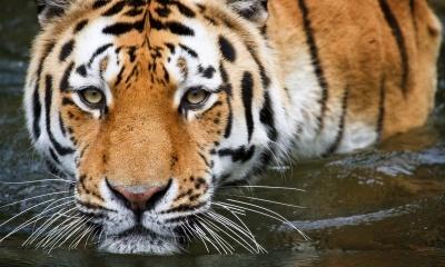 Wuppertal Tiger
