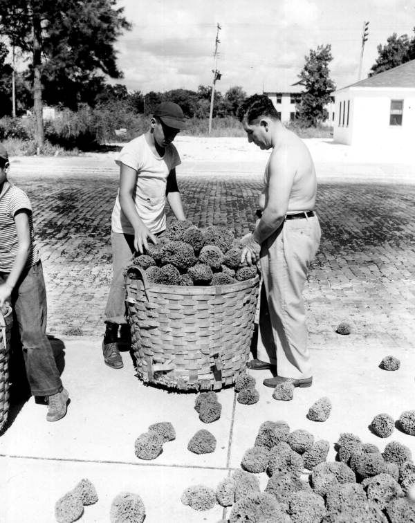 Workers gathering dried sponges into baskets - Tarpon Springs, Florida