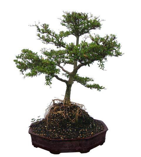 "Black Olive Bonsai Bonsai Tree - Unique Bonsai Tree 23"" Tall: Medium 8 Years Old (Thumb) Buy Bonsai Trees Plants - Buy Bonsai Plants Online RealBonsaiTrees.com or RealPalmTrees.com #Bonsais #DIY2015 #BonsaiTrees #MiamiBonsai #big #2015PlantIdeas #Summer2015Plants #Ideas #BeautifulPlant #DIYPlants #OutdoorLiving #decoratingareasideas"