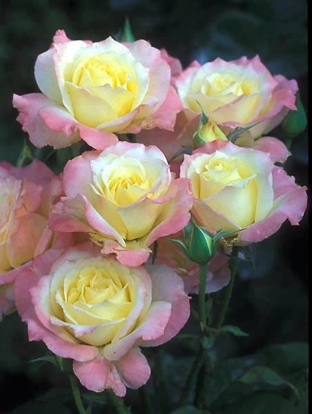 pink AND white AND yellow roses