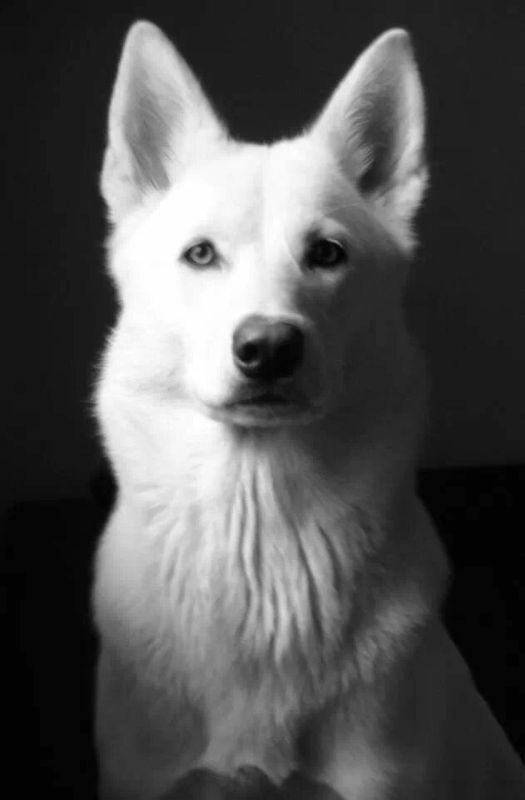 Northern Inuit dog @nis_dogs now on instagram. Check wolfie type out. Governed by nisociety. As seen in S1 Game of Thrones.  Not a Husky.